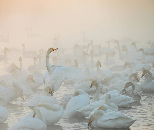 Swan Photograph - Song Of The Morning Light by Dmitry Dubikovskiy