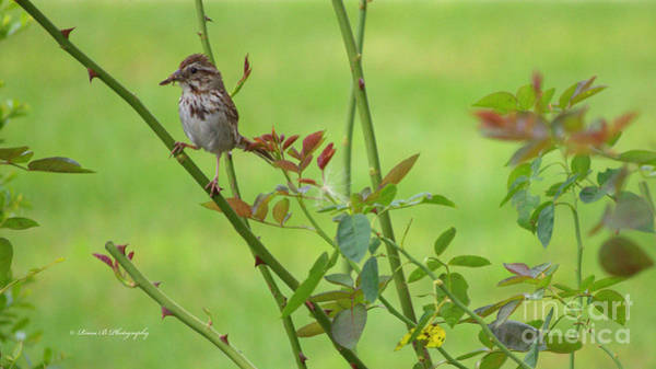 Photograph - Song Sparrow 2 by Rima Biswas
