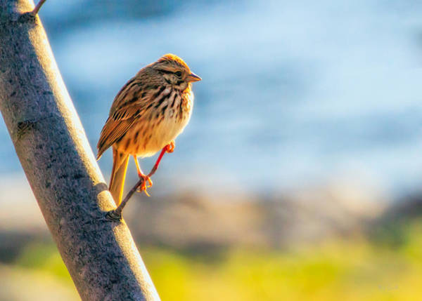 Morning Song Wall Art - Photograph - Song Sparrow by Bob Orsillo