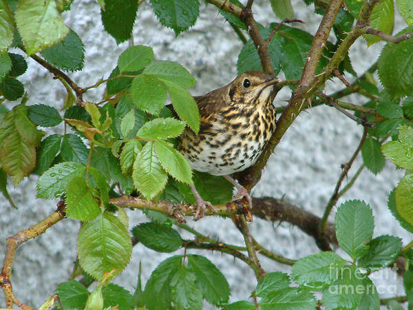 Photograph - Song Thrush In Rosebush by Phil Banks
