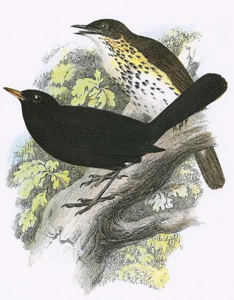 Ornithology Photograph - Song-thrush Top And Blackbird Bottom by English School