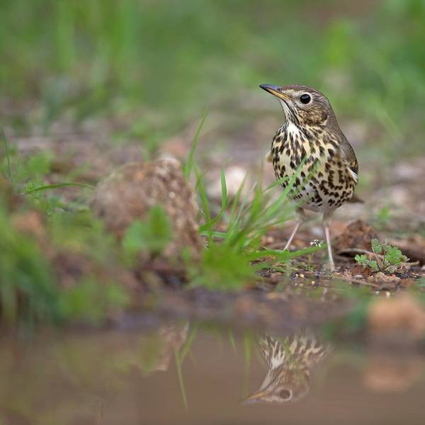 Turdidae Wall Art - Photograph - Song Thrush Turdus Philomelos by Photostock-israel/science Photo Library