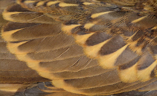 Wall Art - Photograph - Song Thrush Wing Feathers by Nigel Downer/science Photo Library