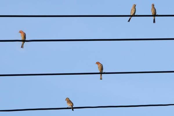 Photograph - Songbirds- House Finches On Electrical Wires. by Bradford Martin