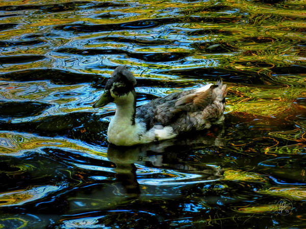 Photograph - Sonoma Crested Blue Swedish Duck   by Lance Vaughn