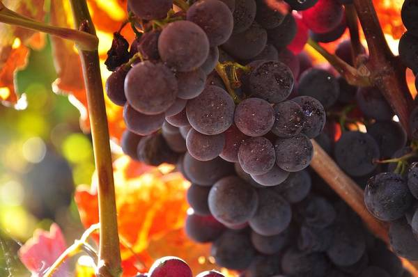 Sonoma Photograph - Sonoma Grapes by Michael Dyer