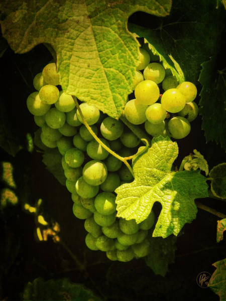 Photograph - Sonoma Wine Grapes 002 by Lance Vaughn