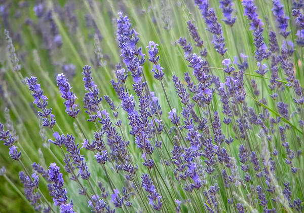 Photograph - Soothing Lavender by Susan Leonard