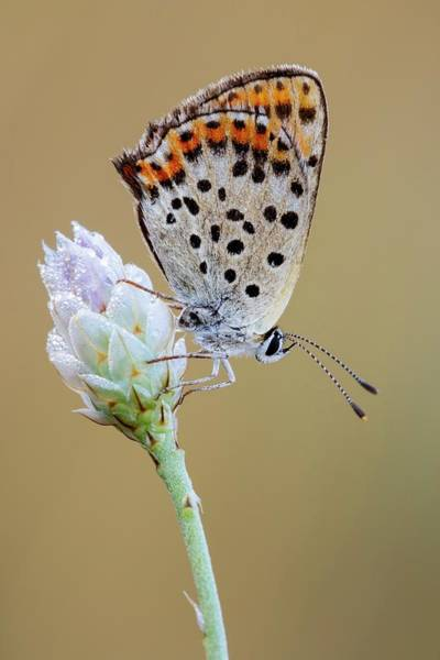Imago Photograph - Sooty Copper by Heath Mcdonald