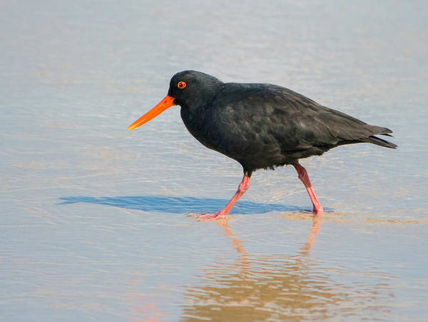 Photograph - Sooty Oystercatcher by Nicholas Blackwell
