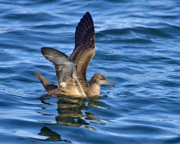 Photograph - Sooty Shearwater by Tony Beck