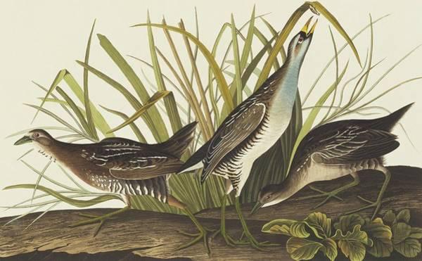 Aquatint Photograph - Sora Rail by Natural History Museum, London/science Photo Library