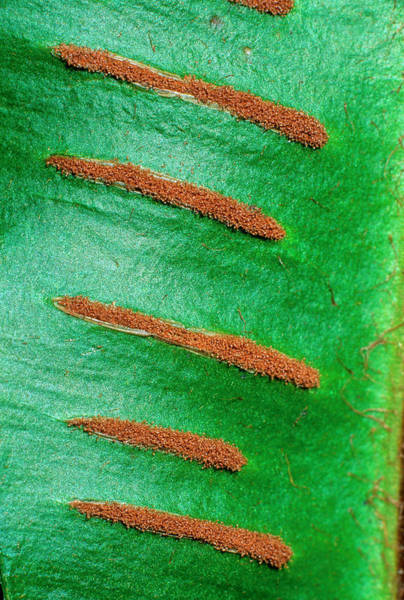 Hart Wall Art - Photograph - Sori On A Hart's-tongue Fern Frond by Bruno Petriglia/science Photo Library