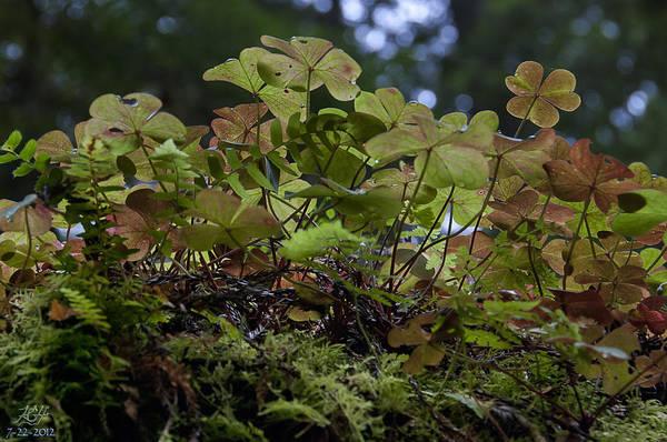 Photograph - Sorrel by Kenneth Hadlock
