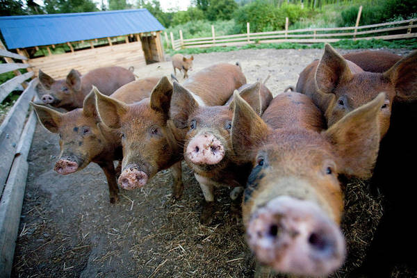 Pigpens Photograph - Sorrento, Bc - Hogs Are Fed Waste by Craig Pulsifer