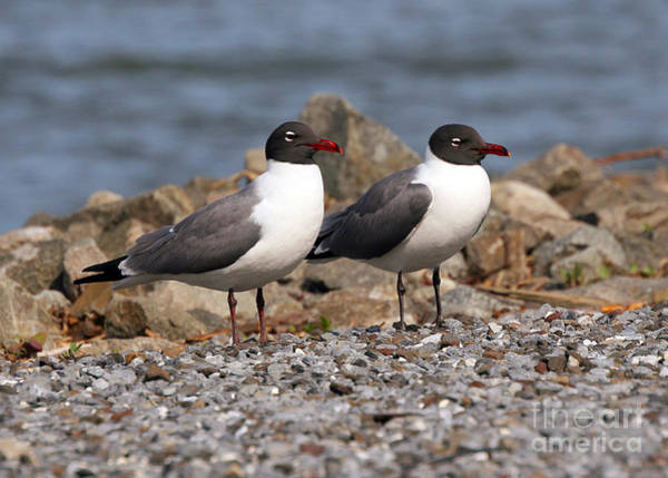 Photograph - Mr. And Mrs. Laughing Gull  by Geoff Crego