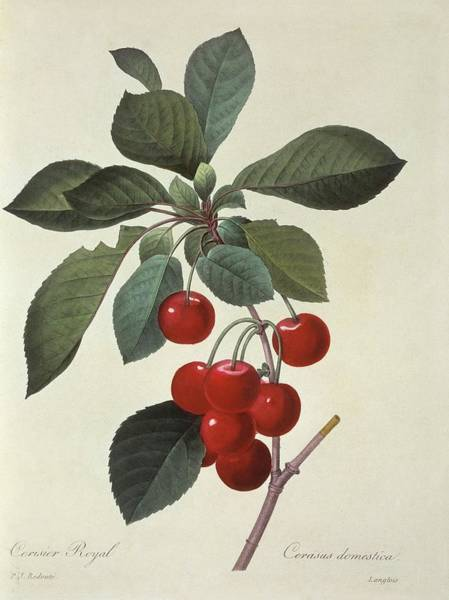 Hand Painted Photograph - Sour Cherries Prunus Cerasus by Natural History Museum, London/science Photo Library