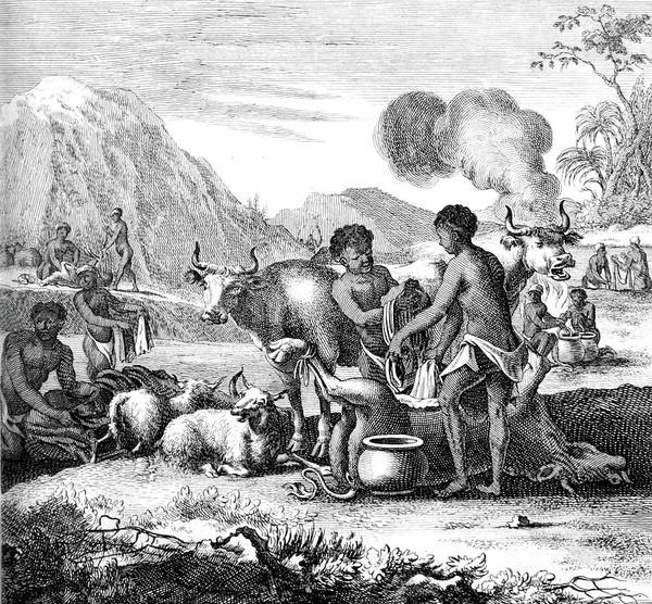 Arica Photograph - South Africa, Khoikhoi Butchering Cattle by Science Source