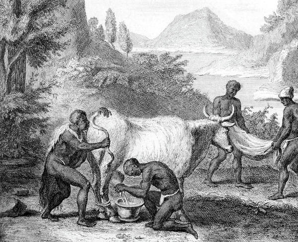 Arica Photograph - South Africa, Khoikhoi Cow Blowing by Science Source