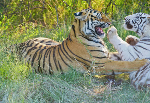 Ie Wall Art - Photograph - South Africa Orange And White Tigers by Jan and Stoney Edwards
