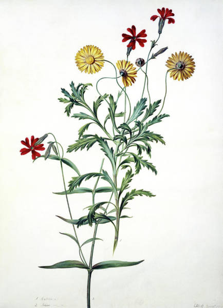Asteraceae Photograph - South African Daisy (arctotis Sp.) by Natural History Museum, London/science Photo Library