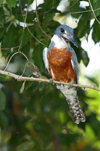 Kingfisher Photograph - South America, Brazil, Pantanal, Ringed by Joe and Mary Ann Mcdonald