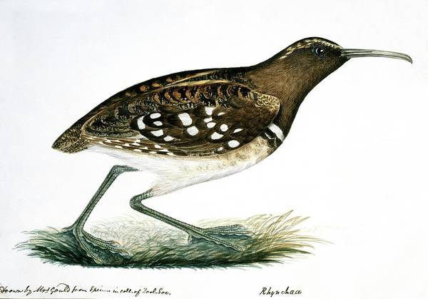Scolopacidae Photograph - South American Painted Snipe by Natural History Museum, London/science Photo Library