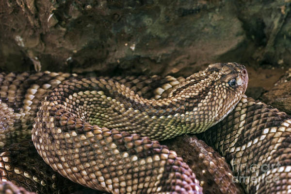 Photograph - South American Rattlesnake 1 by Arterra Picture Library