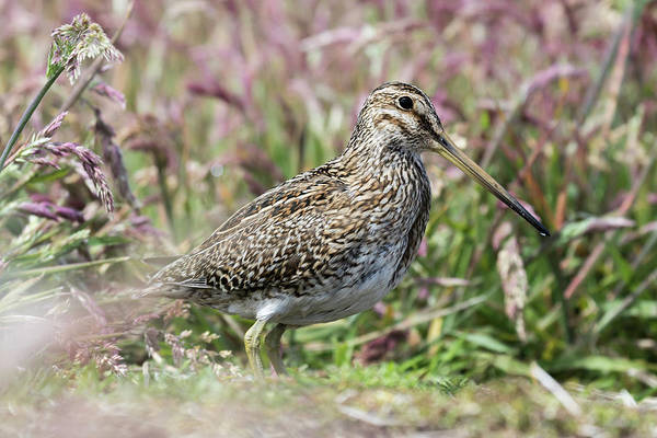 Scolopacidae Photograph - South American Snipe Or Magellan Snipe by Martin Zwick