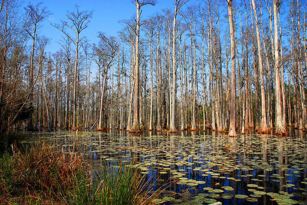 Photograph - South Carolina Swamps by Susanne Van Hulst