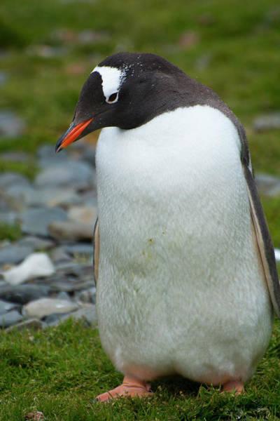 Gentoo Wall Art - Photograph - South Georgia Gentoo Penguin by Inger Hogstrom