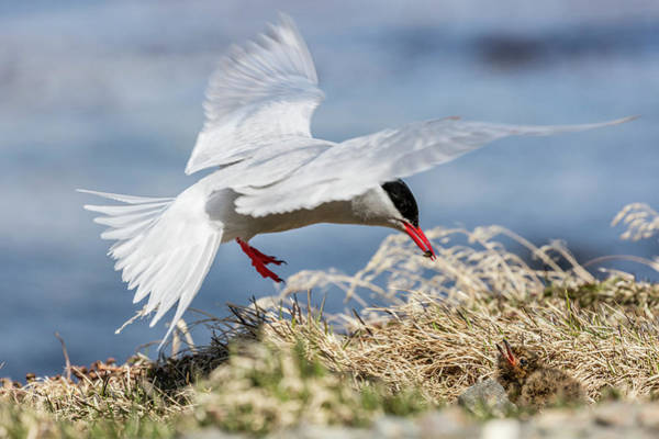 Tern Wall Art - Photograph - South Georgia Island, Grytviken by Jaynes Gallery