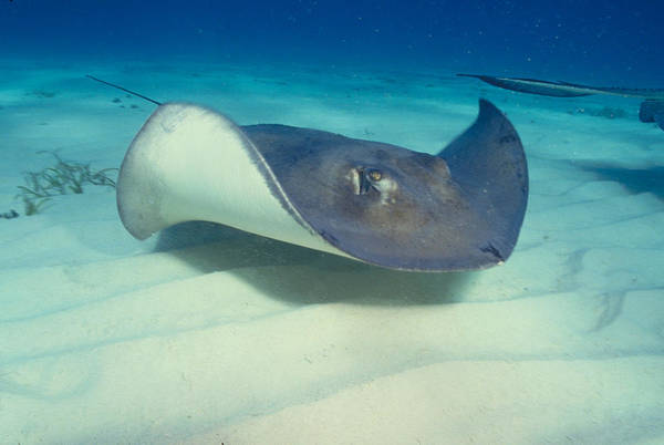 Wall Art - Photograph - Southeastern Stingray by Charles Angelo