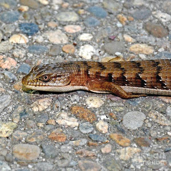 Photograph - Southern Alligator Lizard On A Driveway by Susan Wiedmann