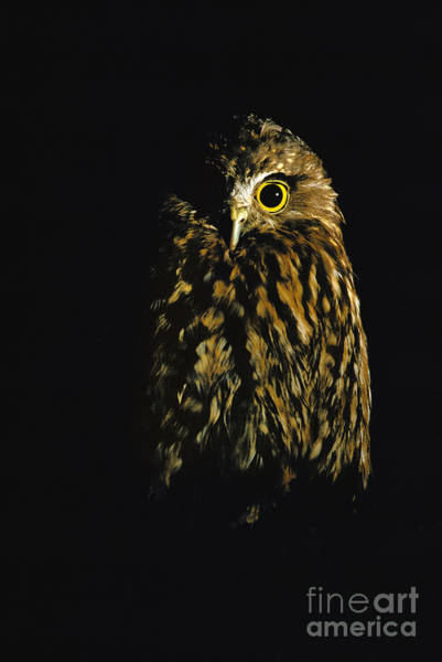 Photograph - Southern Boobook Owl by Frans Lanting MINT Images