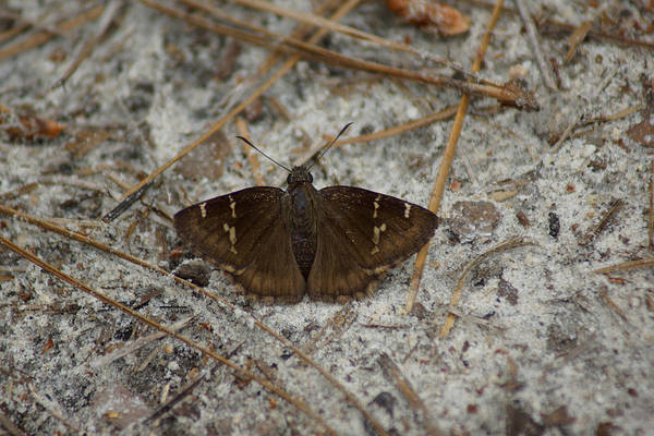 Photograph - Southern Cloudywing by Kim Pate