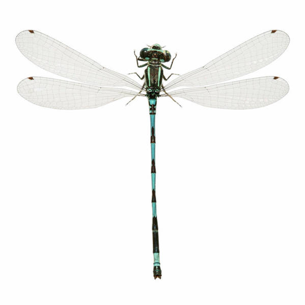 Odonata Photograph - Southern Damselfly by Natural History Museum, London