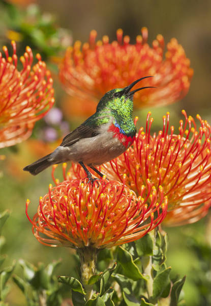 Proteaceae Photograph - Southern Double-collared Sunbird by Kevin Schafer