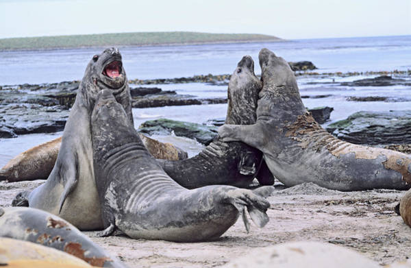 Bulls Island Photograph - Southern Elephant Seal Bulls In Mock by Martin Zwick