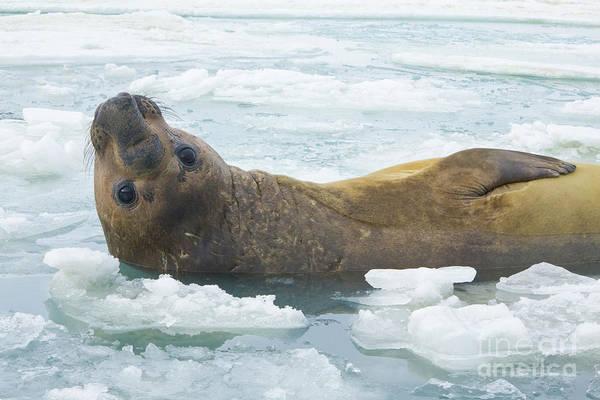 Photograph - Southern Elephant Seal Reclining by Yva Momatiuk John Eastcott