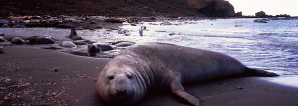 Wall Art - Photograph - Southern Elephant Seal Mirounga Leonina by Animal Images