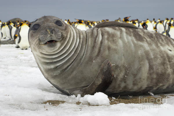 Wall Art - Photograph - Southern Elephant Seal Weaner by Yva Momatiuk John Eastcott
