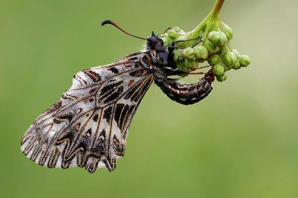 Imago Photograph - Southern Festoon Butterfly by Heath Mcdonald