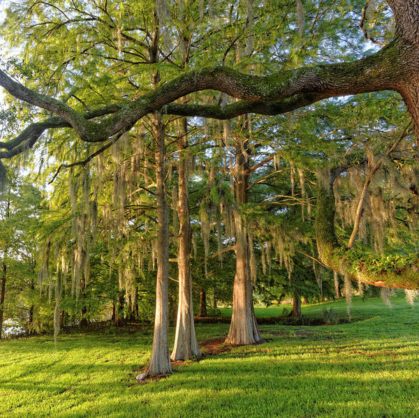 Bald Cypress Photograph - Southern Forest by Silvio Ligutti