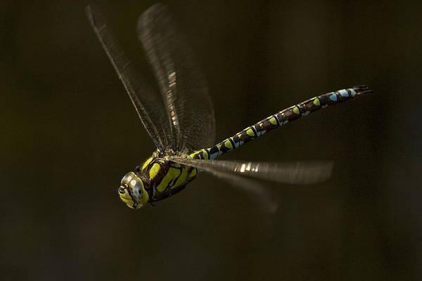 Southern Hawker Dragonfly In Flight Art Print