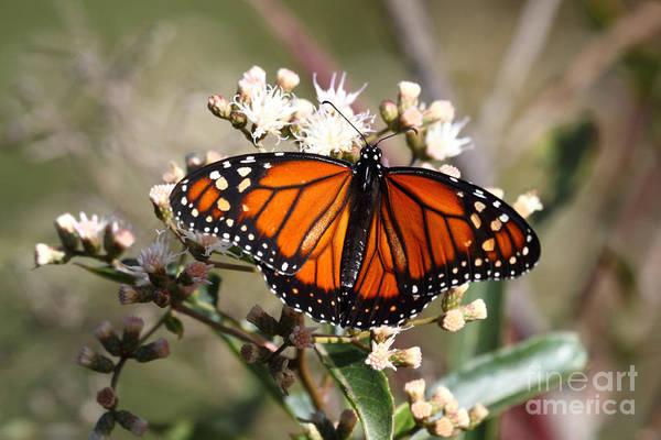 Photograph - Southern Monarch Butterfly by James Brunker