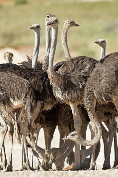 Behaviour Photograph - Southern Ostriches Performing Geophagia by Tony Camacho