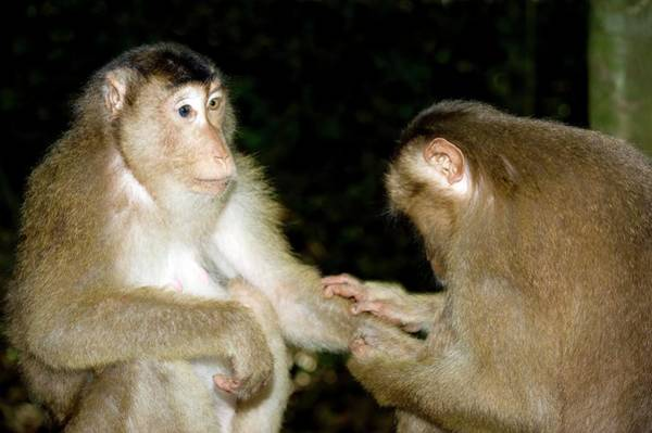 Wall Art - Photograph - Southern Pig-tailed Macaques by Tony Camacho/science Photo Library