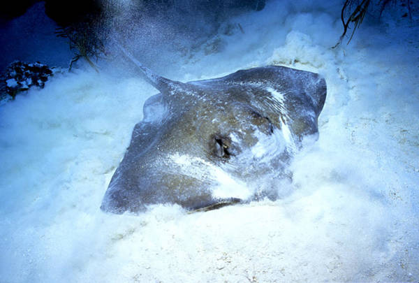 Wall Art - Photograph - Southern Stingray Foraging by Charles Angelo