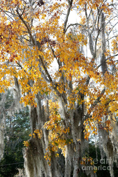 Photograph - Southern Sycamore by Carol Groenen